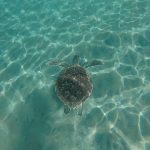 Had to swim quickly to keep up with this guy, but it was an awesome experience.